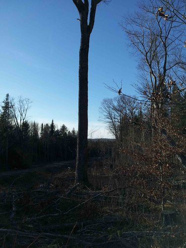 Will Emerald Ash Borer also sidestep this tree?
