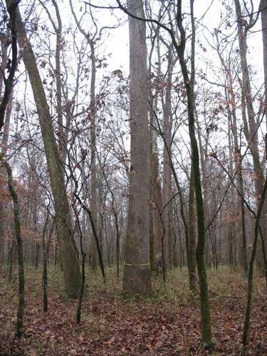 "The tallest tree found so far at Noxubee NWR, a 10'8"" x 148.2' tall sweetgum"