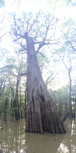 One of the oldest trees documented 1000+years