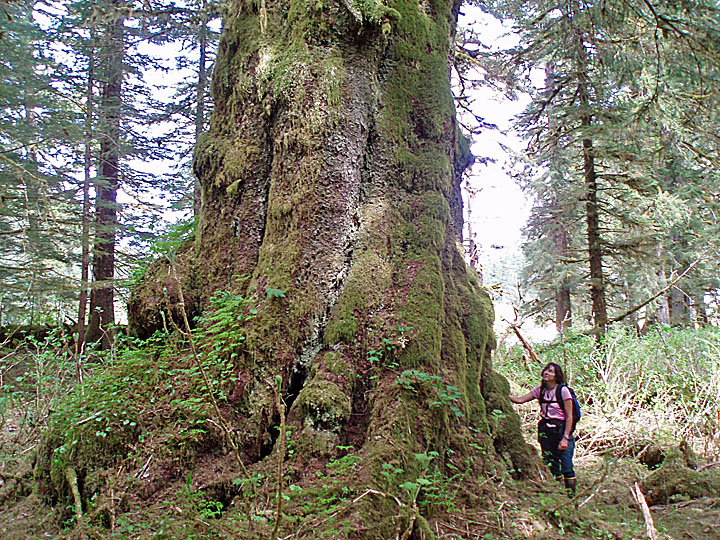 Giant spruce in the South Baranof Wilderness, Alaska, 7.5x10 in., low-res.jpg