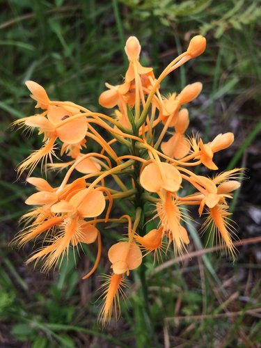 fringed orchid