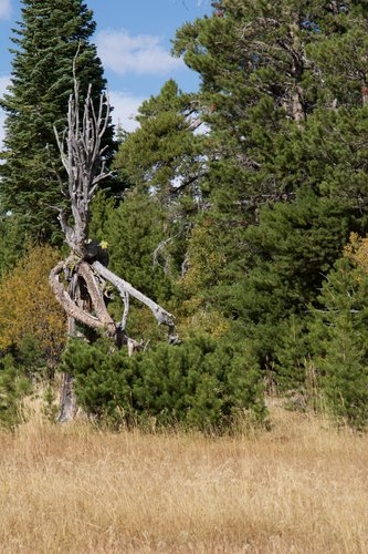 "This gnarled little Lodgepole Pine had its top broken out by wind.  The main trunk died, and the living part is that ""bush"" near the base."