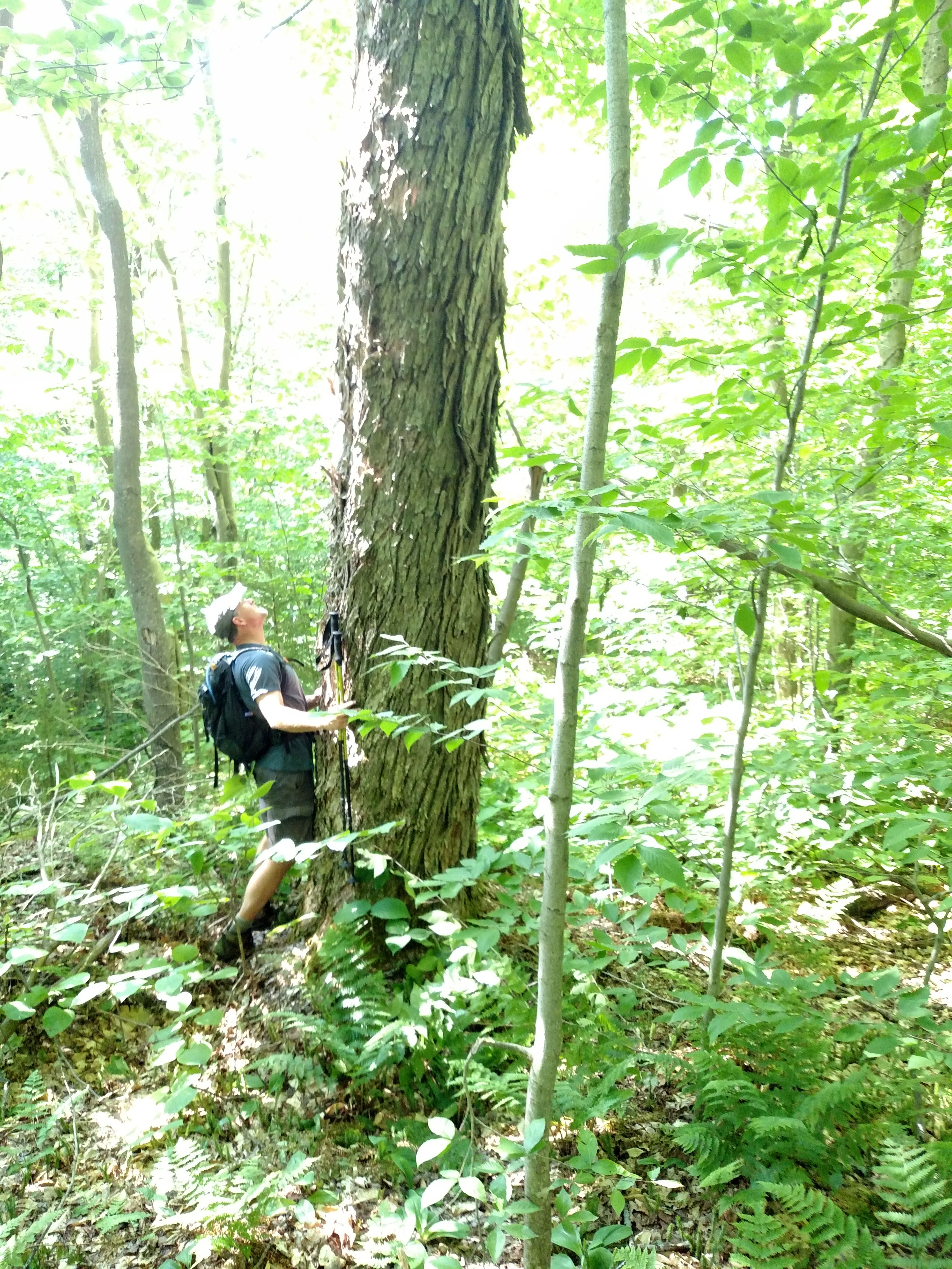 dave looking up 8 'CBH Maple on Tabletop Mountain.jpg
