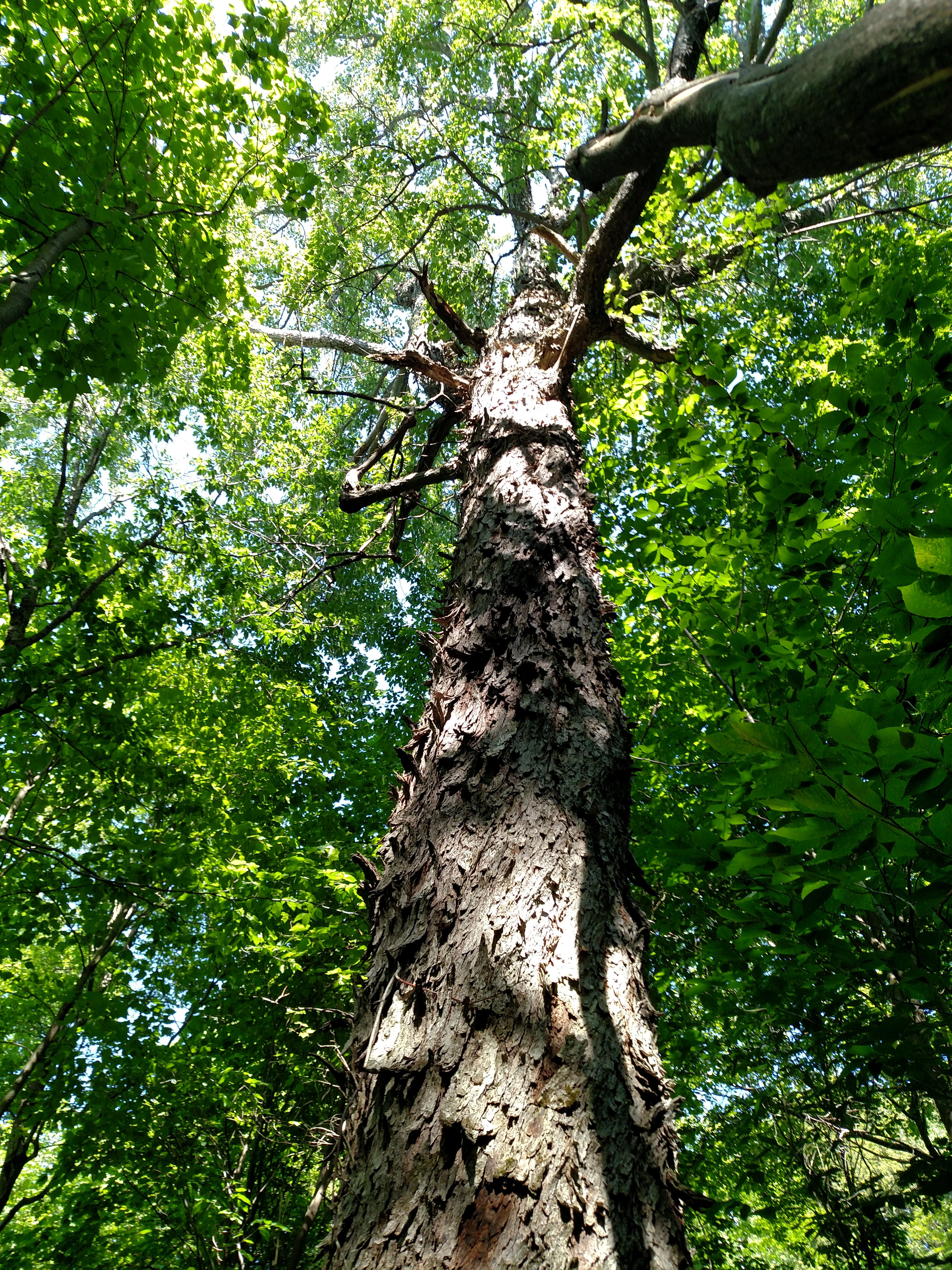 looking up large maple on tabletop mountain.jpg