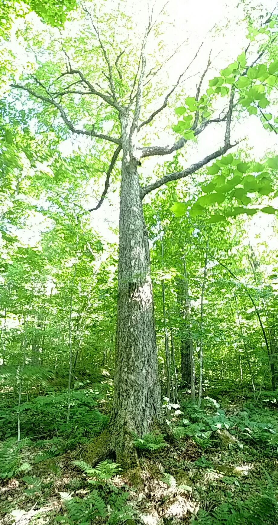 panorma view of 9' CBH yellow birch in Tabletop Mountain.jpg