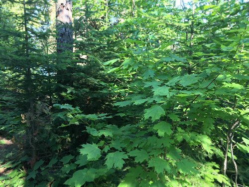 A sugar maple sapling invading and crowding out balsam fir in a boreal forest
