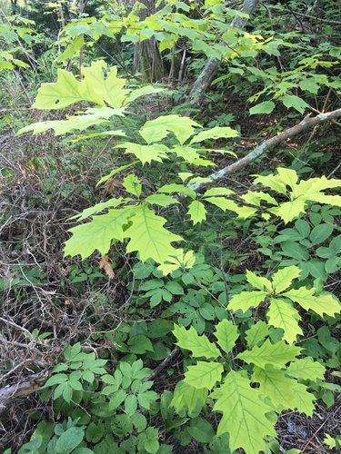 A northern red oak sapling in the boreal forest. Leaf chlorosis due to iron deficiency in these high pH soils on Niagara Dolomite.