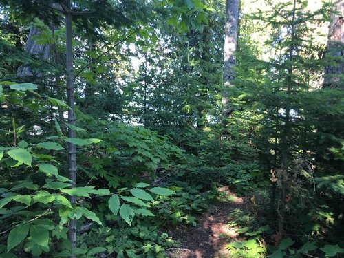Beech and sugar maple saplings invading a boreal forest