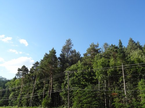 Tallest Jack Pine in center.  Scots Pine, Red Pine, and White Pine are also present, as well as Red Spruce and Balsam Fir.