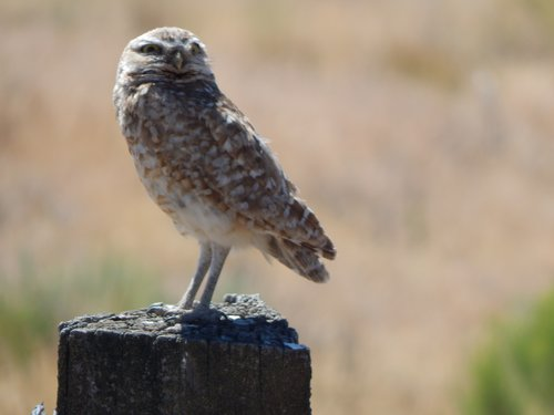 Local burrowing owl.