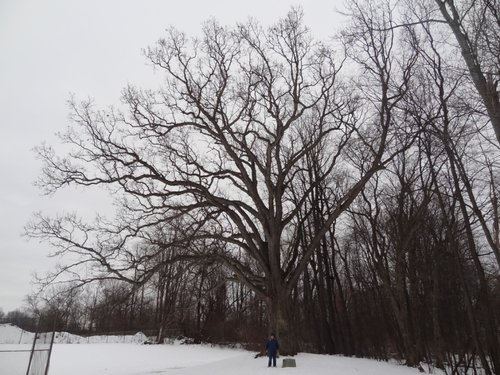 Tom Howard with the oak for scale