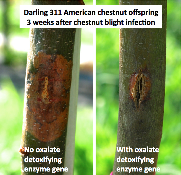 Blight resistant tree innoculations.png