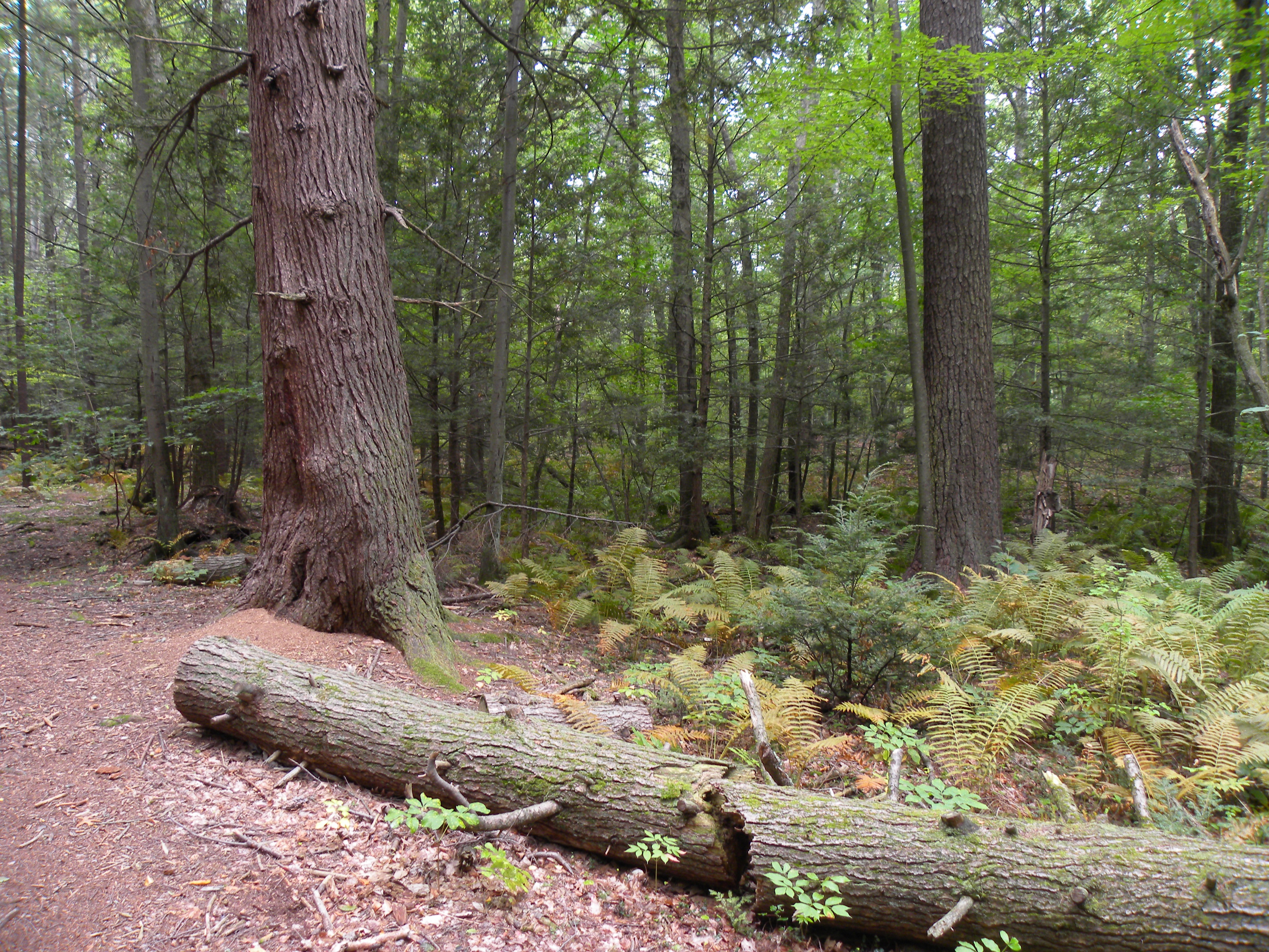 Carlisle State Forest - big hemlock and tall pine.jpg