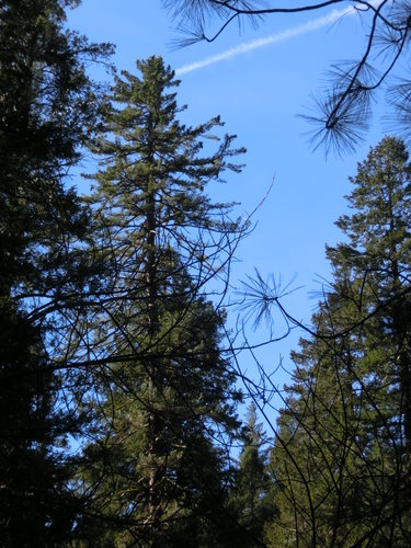 "246.9' sugar pine with ""chemtrail"" in background"