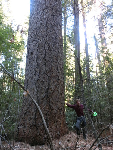 Duncan under another large ponderosa in the same grove as the 260'+ specimen