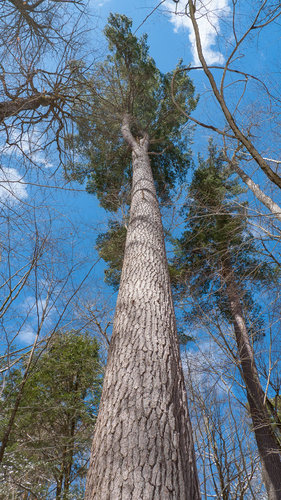 The largest-girthed old growth white pine