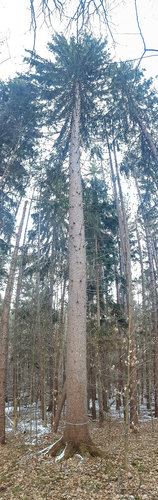 145' Norway Spruce (distorted phone panorama)