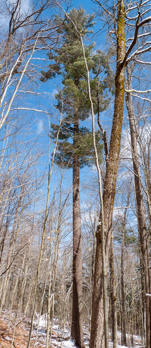 145' / 9.4'cbh White Pine, a little further upslope than the rest of the tall ones- what a form!