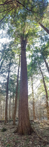 102.5'/9.8'cbh high-volume hemlock, probably around 500 ft3.
