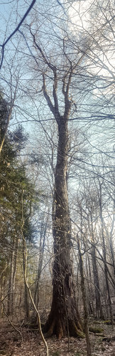 Phone panorama view of the giant red maple