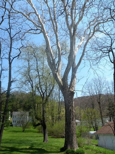Sycamore, 15.4 feet girth, 125 feet tall