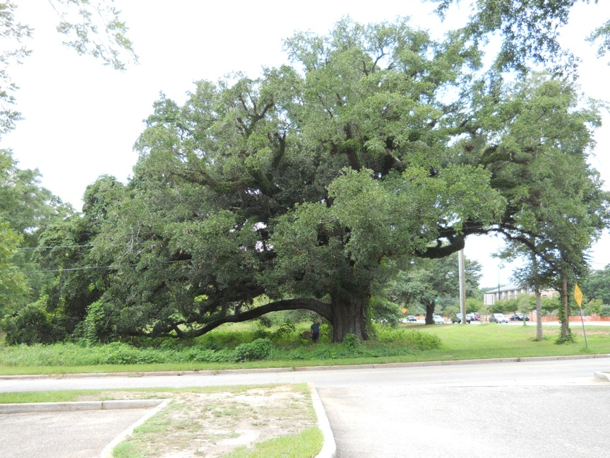 Old Shell Road Oak 2.jpg