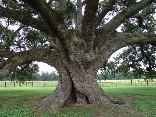 Maryland Farms Oak in South Louisiana