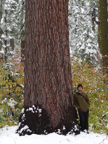 This Sugar Pine In Calaveras SP may be the world's tallest. Preliminary height measurement 255'. Dbh is 7'.