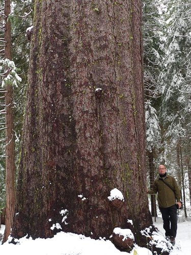 This beast sugar pine near Calaveras SP is still over 9 feet thick at 50 feet off the ground