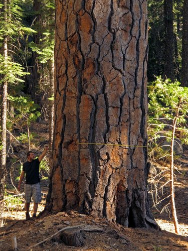 ENORMOUS Eldorado NF ponderosa. 8.6' dbh. 7' thick at 50' off the ground. 235' tall. Trunk volume 5,400 cubic feet