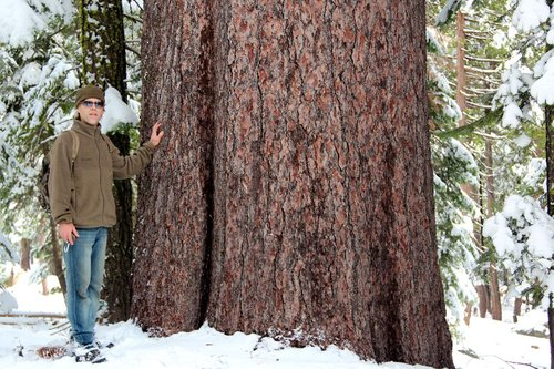 This Eldorado NF sugar pine is 8' thick and has virtually no taper. It reminds me of a parthanon column