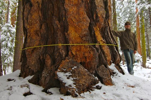 8.3' dbh Eldorado NF ponderosa with plates the size of a man. Volume is 4,420 cubic feet. Height 201'