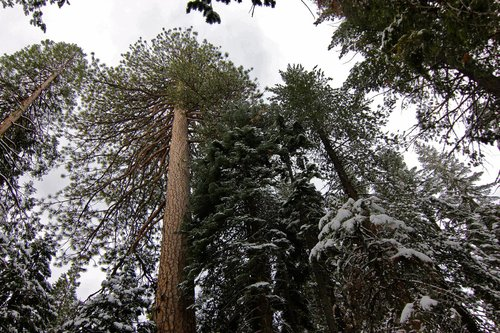 "Enormous Crown of ""Mondo Pondo"" in Eldorado NF towering above its peers. Volume-4,420 cubic feet"