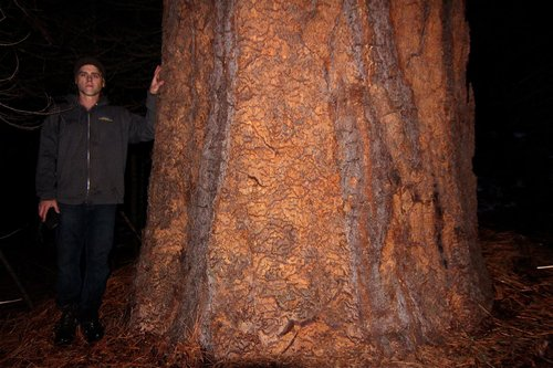 Giant 7.5' dbh ponderosa discovered in the dark. Should easily make 4,000+ cubic feet
