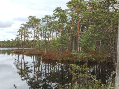 Floating Scots pine forest at edge of bog lake