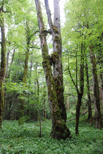 This is Jeroen's photo. 40.6-meter sycamore maple. The other mossy trunks are also sycamore maples. Also beech, right, silver firs, left background, and hazel (Corylus avellana), the shrub left from the big maple. Wild garlic (Allium ursinum) covers the ground.