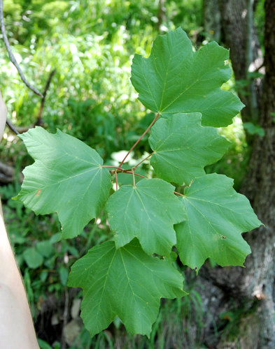 Leaves of Italian maple, Acer opalus
