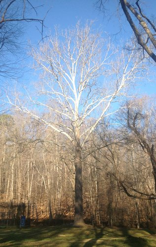 "115.1', 12', 8"" CBH Sycamore near baseball diamond"