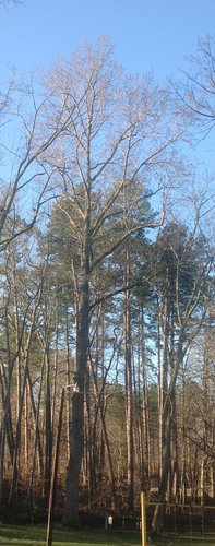 "114.5', 9', 1"" CBH Tulip Poplar with sign on it"